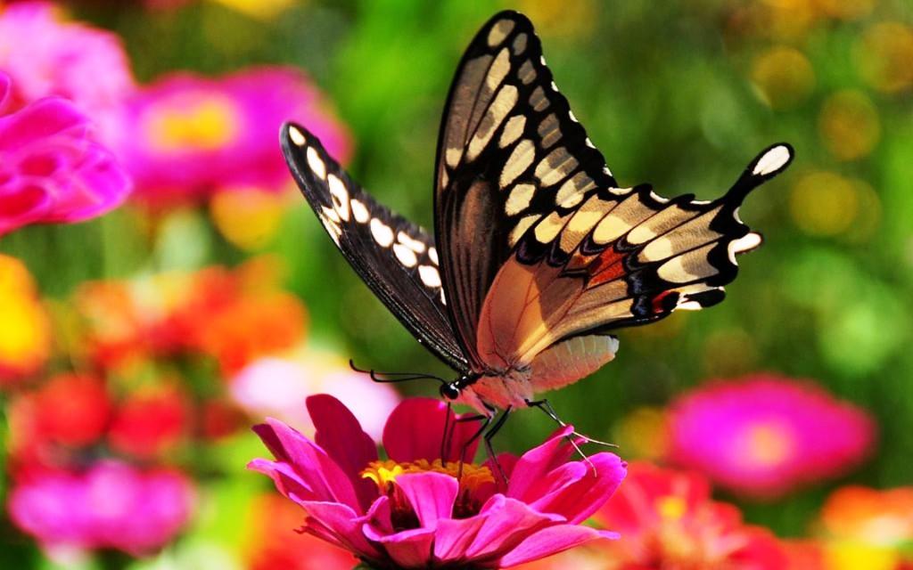 kartinki24_ru_butterflies_66